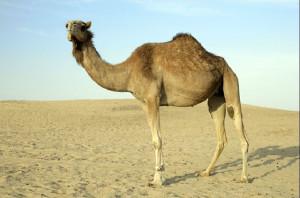kamel-01