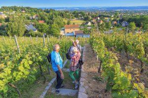 Weinbergwanderung am Ratsweinberg Weinboehla